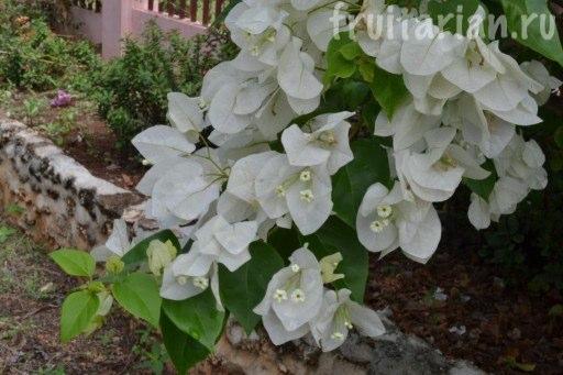 Цветы на Филиппинах