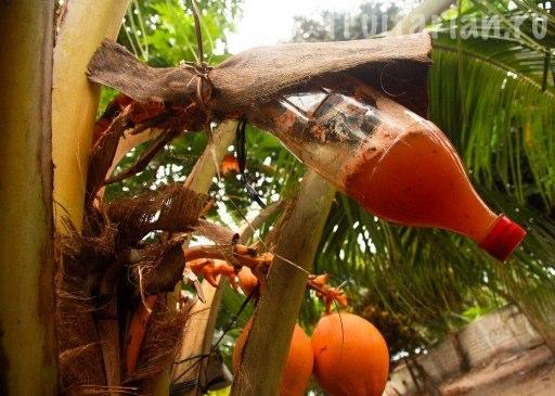 кокосовое вино