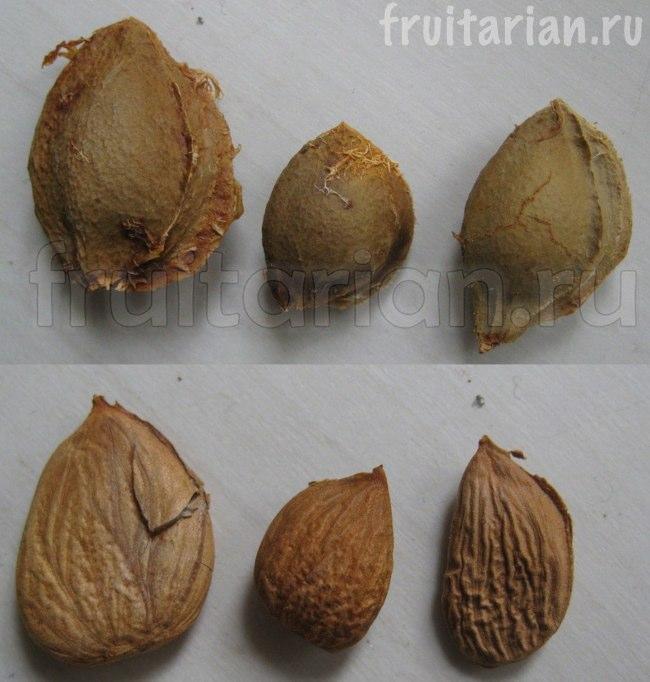 Как правильно посадить косточку абрикоса в домашних условиях 891