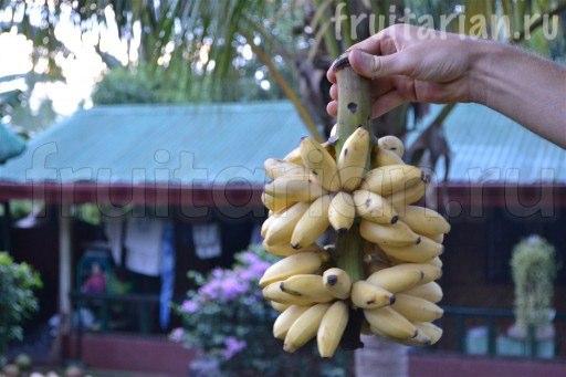 бананы Тундан