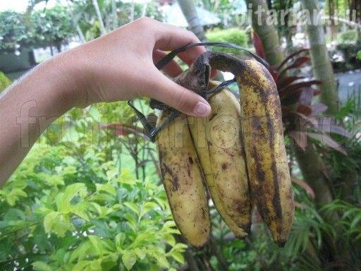 банан Тундан