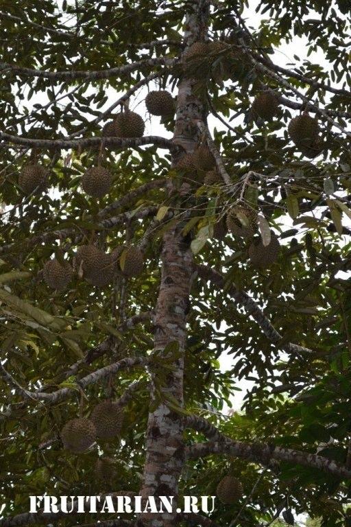 дерево дуриана