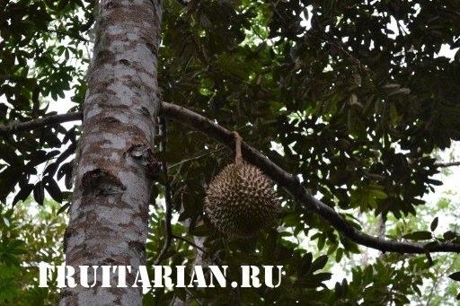 дуриан на дереве