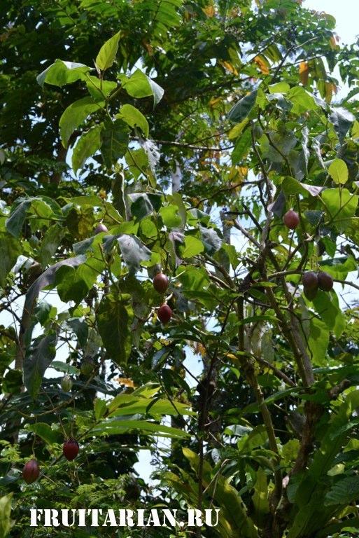 Тамарилло выращивание фото 73