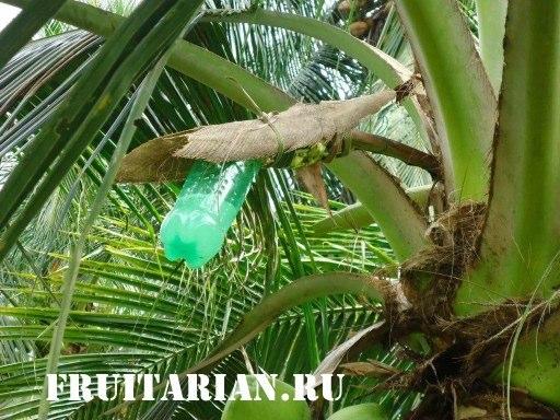 palm-juice