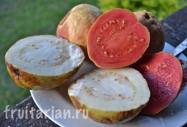 guava-spelaya