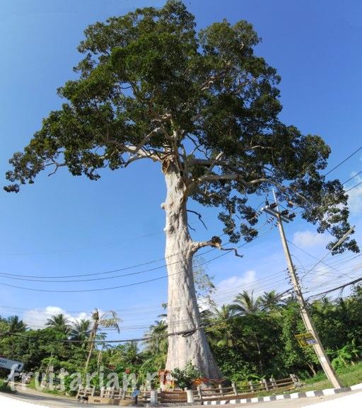 tree-phangan